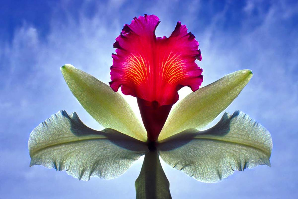 Cattleya Orchid,  1980