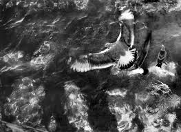 Gulls over water in Provincetown, circa 1951, © Sid Grossman