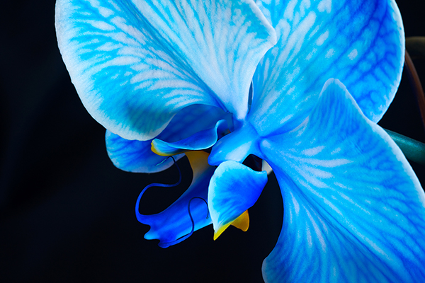 """Blue Orchid"" by JoAnn Cancro"